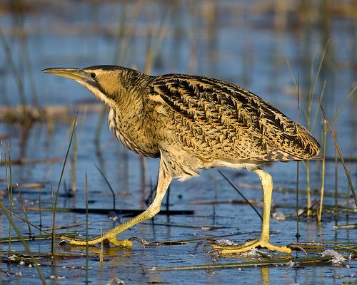 Bölömbika - Európa madarai - Vízimadarak