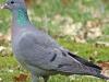 kék galamb