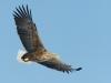 White-tailed Eagle (Haliaeetus albicilla), also known as the Sea Eagle