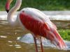rozsas-flamingo3