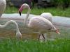 rozsas-flamingo4