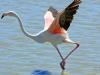 rozsas-flamingo5