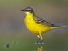 sárga billegető