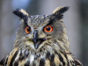 Eagle Owl, (Bubo bubo)
