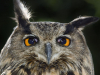 Eagle owl (Bubo bubo) portrait with translucent nictitating membrane in mid-blink