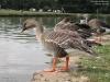 Oie des moissons - Anser fabalis - Taiga Bean Goose