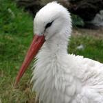 fehér gólya