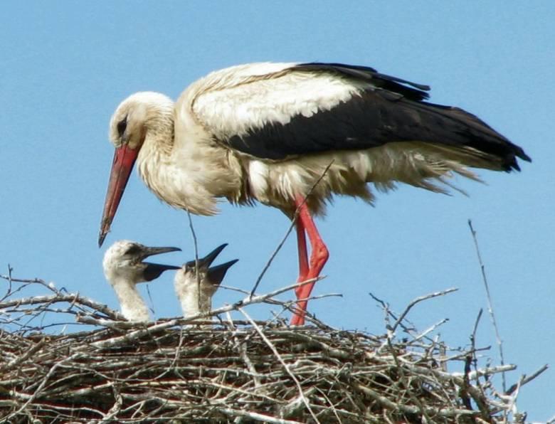 fehér gólya érdekességek