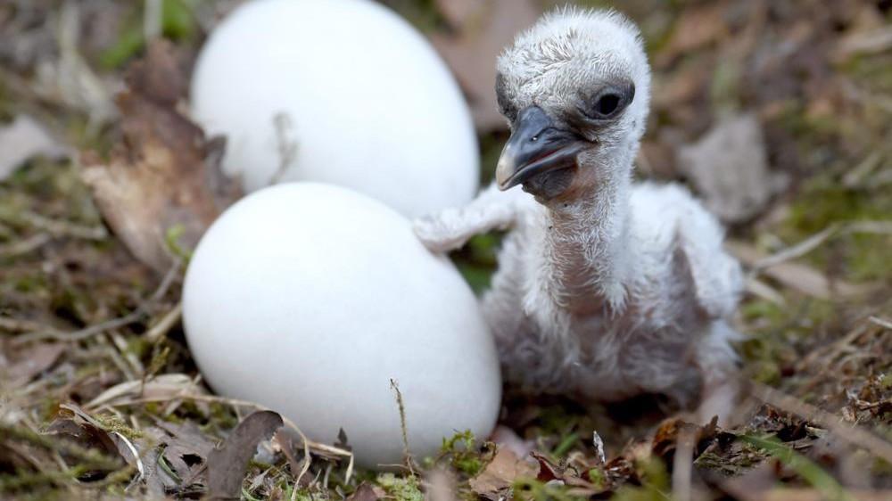 fehér gólya fióka