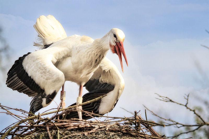fehér gólya jellemzői