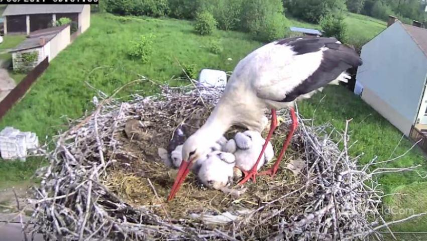fehér gólya webkamera